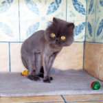 Blue Persian found in Georgioupoli